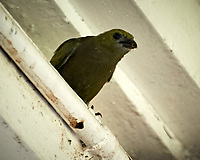 Unknown Bird, Asa Wright Nature Centre, Trinidad, Image taken with a Nikon D3s camera and 70-300 mm VR lens.