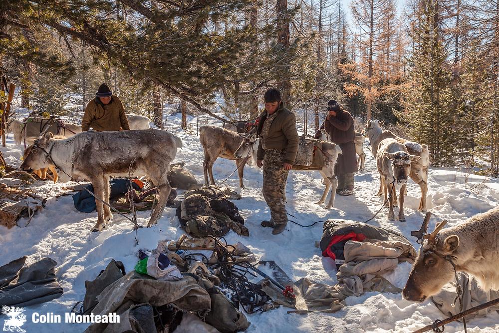 Tsaatan reindeer herder packs up in morning, winter camp, Hunkher mountains, northern Mongolia