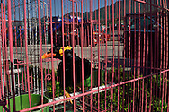 Birds in cage for sale at a truckstop, Shaanxi, China. Many of them are caught in the wild. Like this Hill myna, Gracula religiosa, which is from the rainforest regions in China's south