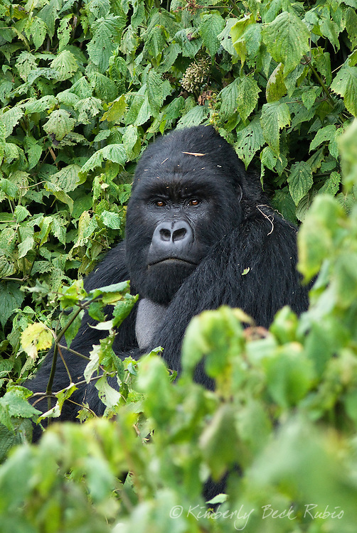 A silverback (dominant male) Mountain Gorilla, one of the most endangered species in the world, in the Virunga Mountains, Parc National des Volcans, Rwanda.