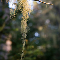 Old Man's Beard lichen hangs from a spruce branch on Isle Au Haut in Maine's Acadia National Park.