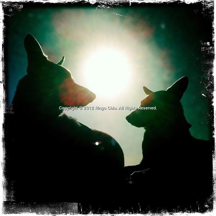 The silhouette of dogs are seen at Santa Monica Beach in Santa Monica, California, USA. (Photo by Ringo Chiu/PHOTOFORMULA.com).