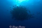spawning aggregation of dog snappers, Lutjanus jocu, <br />  (pre-spawn), Gladden Spit & Silk Cayes Marine Reserve, <br /> off Placencia,  Belize, Central America ( Caribbean )