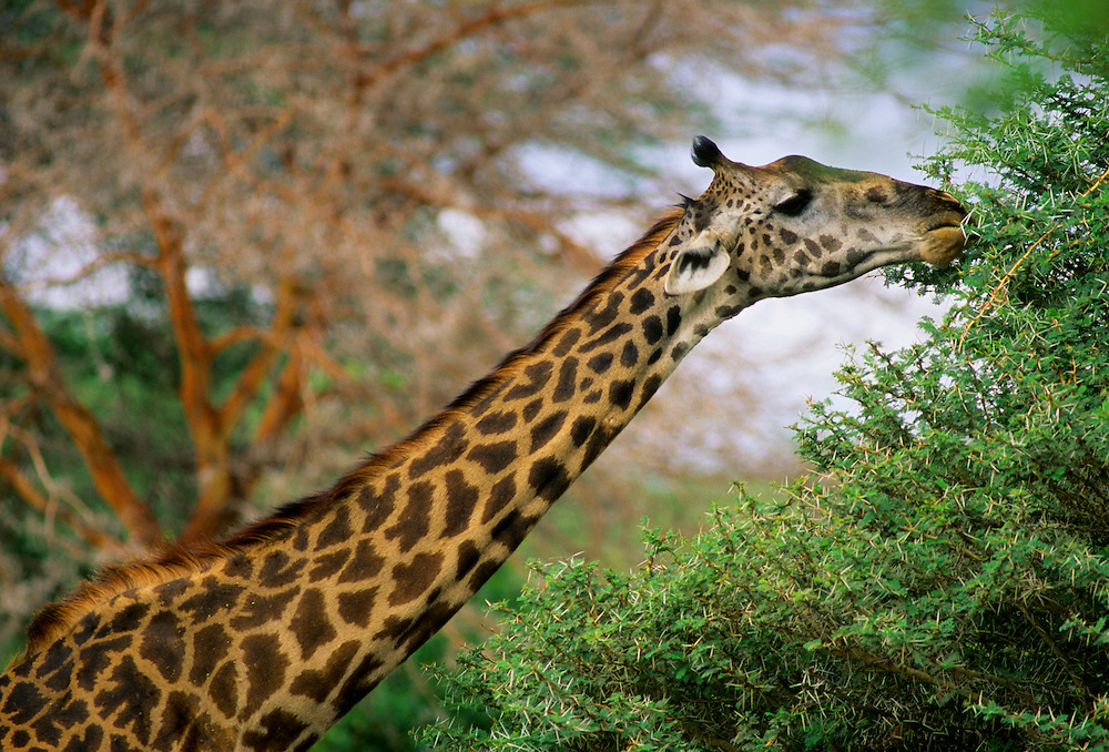 A giraffe reaches up to eat some of the untouched leaves at the top of a tree.