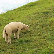Lone Hillside Grazing Lamb - Avebury, UK