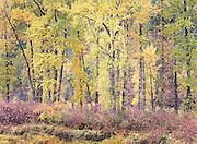 Stunning Autumn Trees Along Couer d' Alene River, Idaho