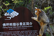 Golden Snub-nosed Monkey, Rhinopithecus roxellana, climbing up a sign in Foping Nature Reserve, Shaanxi, China