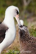 Laysan albatross, Phoebastria immutabilis, chick taps parent's beak to beg for a feeding, Sand Island, Midway Atoll, Midway National Wildlife Refuge, Papahanaumokuakea Marine National Monument, Northwest Hawaiian Islands, USA ( North Pacific Ocean )
