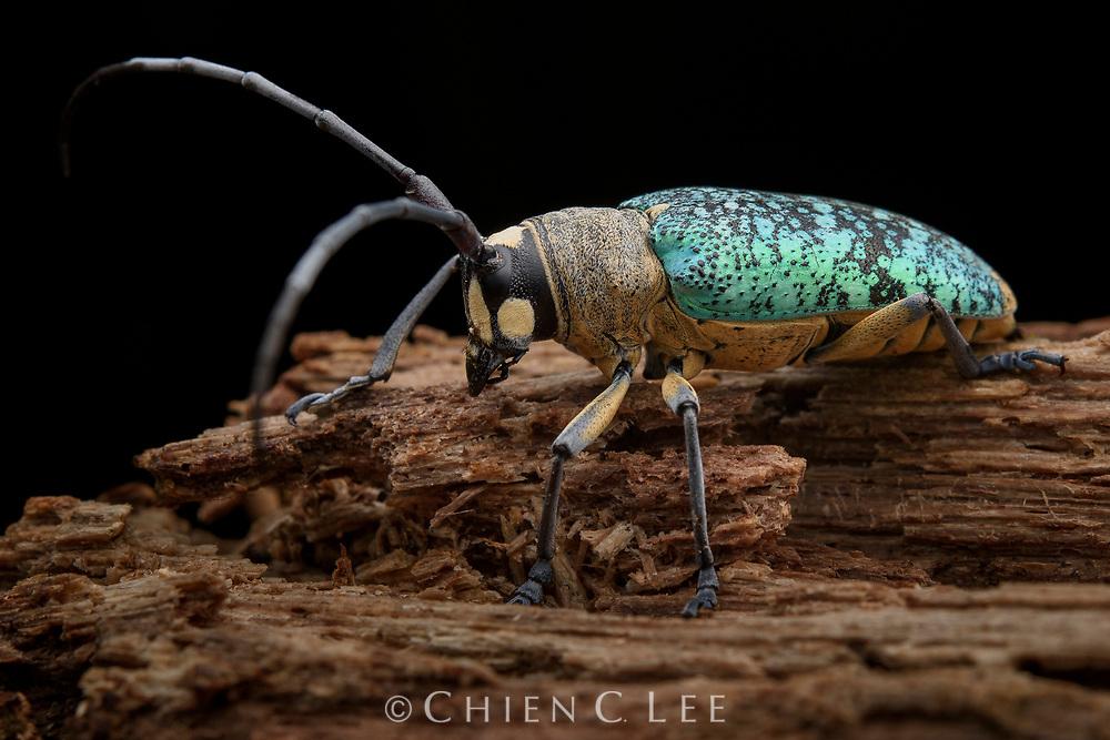 Longhorn beetle (Pericycos teragramus). Sarawak, Malaysia (Borneo).