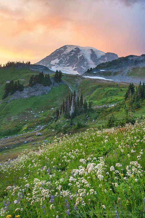 Wildflower meadows of Paradise with Sitka Valerian. Mount  Rainier National Park, Washington
