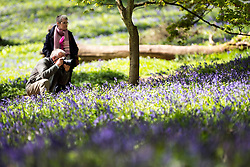 © Licensed to London News Pictures. 15/04/2014. Guildford, UK. A man photographs bluebells in a patch of sunlight. People enjoy the afternoon  sunshine at Winkworth Arboretum in Surrey today 15th April 2014. Photo credit : Stephen Simpson/LNP