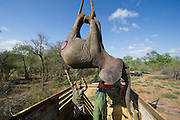 Tranquilized elephants being loaded into crate<br /> & capture team<br /> (Loxodonta africana)<br /> Elephants darted from helicopter to be relocated.<br /> Zimbabwe