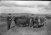 Farm Animals and People in Kanturk, Co. Cork and Castleisland, Co. Kerry. J.J. and Maureen Murphy with champion cow and heifer..10.09.1965
