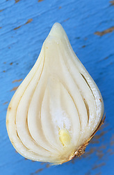 Cross section of a healthy tulip bulb that has been sliced in half