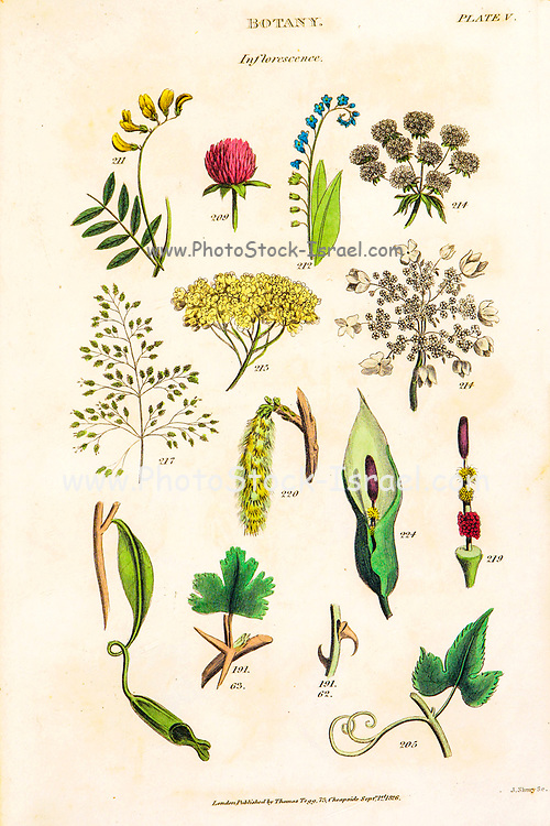 """Hand drawn Inflorescence part of Botanical images depicting the Linnean Classification system [Carl Linnaeus (23 May 1707 – 10 January 1778), also known after his ennoblement as Carl von Linné was a Swedish botanist, zoologist, taxonomist, and physician who formalised binomial nomenclature, the modern system of naming organisms. He is known as the """"father of modern taxonomy"""". Many of his writings were in Latin, and his name is rendered in Latin as Carolus Linnæus (after 1761 Carolus a Linné). Published by T. Tegg in London in 1826"""
