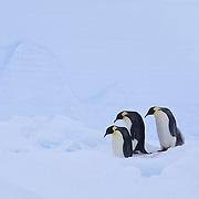 Emperor Penguin adults at the Riiser-Larsen ice shelf. Antarctica