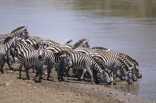 Burchell's Zebra, (Equus burchelli) Herd drinking from Mara River.Masai Mara Game Reserve. Kenya. Africa.