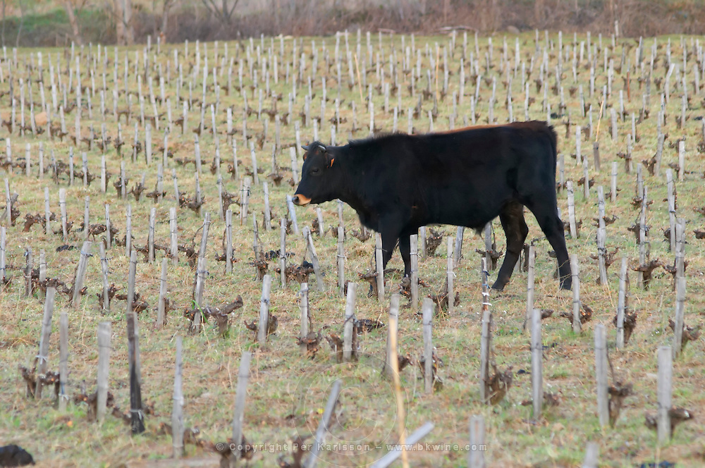 Vineyard with cows, cattle, bulls near Lentheric, below Ch des Estanilles. Faugeres. Languedoc. Vines trained in Gobelet pruning. France. Europe.