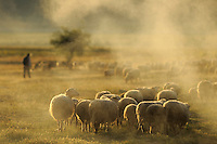 Drive the flock of sheep out in the morning. Lake Prespa National Park, Albania June 2009