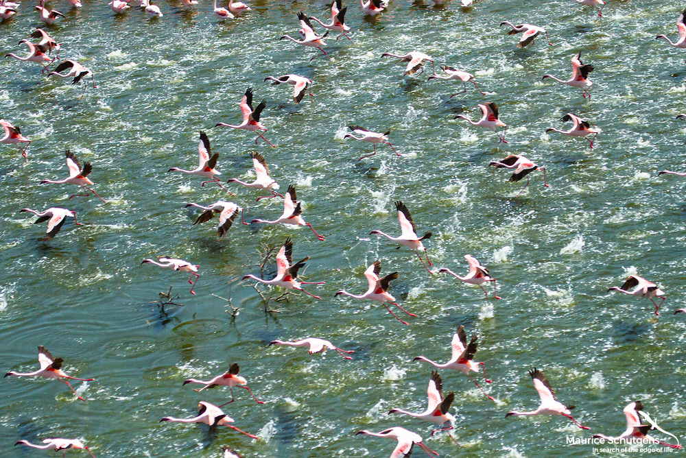 Flamingoes in flight over Lake Bogoria, Kenya