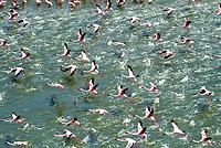 Flamingoes in flight over Lake Bogoria, Kenya
