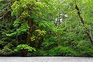 Bigleaf Maples (Acer macrophyllum) along the riverbed of the Cameron River in Macmillan Provincial Park - Port Alberni, British Columbia, Canada