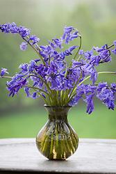 Bluebells in a vase. Hyacinthoides non-scripta
