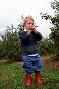 Three year old boy picking apples at an Upstate New York U Pick It Farm.