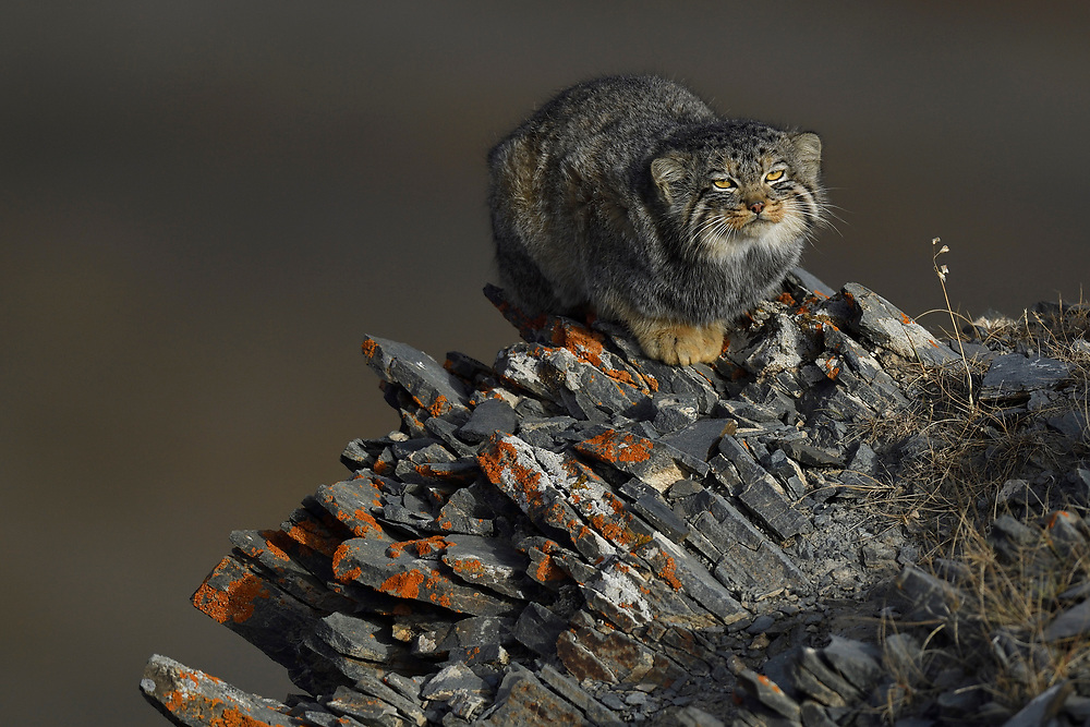 Pallas's cat (Otocolobus manul), also called the manul, sitting on a rock at the Tibetan Plateau 5000 m asl, Qinghai, China