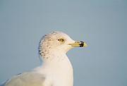 Seagull, UK