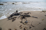 April 9, 2015, Almost five years after the BP oil spill,  A dead pelican and some tar balls washed up on the beach on Grand Isle, LA.