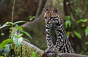 Ocelot         ©<br /> Leopardus pardalis<br /> Amazoonico Animal Rescue Center<br /> Amazon Rain Forest<br /> ECUADOR.  South America<br /> Range: North, Central and South America. Texas south to n Argentina to 1,800 m elevation.