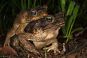 Cane Toad (Rhinella marina) Mating<br /> Rain Forest<br /> Iwokrama Reserve<br /> GUYANA<br /> South America