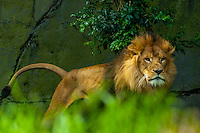 Lion, Taronga Zoo, Sydney Harbor, Sydney, New South Wales, Australia