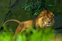 Lion, Taronga Zoo, Sydney Harbor, Sydney, New South Wales, Australia