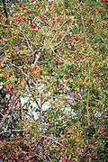 rosehips of Dog rose bush in late summer