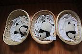 Newborn Panda Cubs