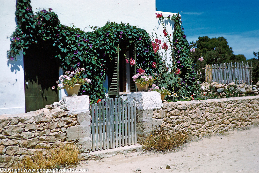 Pretty attracttive local house with Virginia creeper plant in flower, island of Ibiza, Balearic Islands, Spain, 1950s