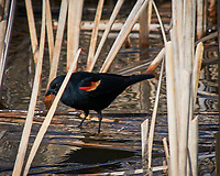 Red-winged Blackbird. Alamosa National Wildlife Refuge, Colorado. Image taken with a Nikon D300  camera and 80-400 mm VR lens