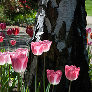 Tulips are a symbol of the beauty of spring.  There newness contrasts well with the older tree with cracked bark that has seen many season.  Tulips are a perennial plant in the genus Tulipa with showy flowers, in the family Liliaceae.