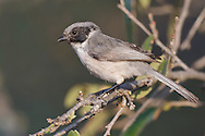 Bushtit - Psaltriparus minimus - Adult male (Black-eared form)
