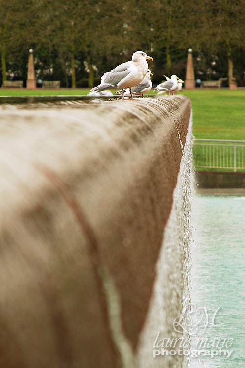 Seagulls on the edge of Bellevue, WA Downtown Park waterfall