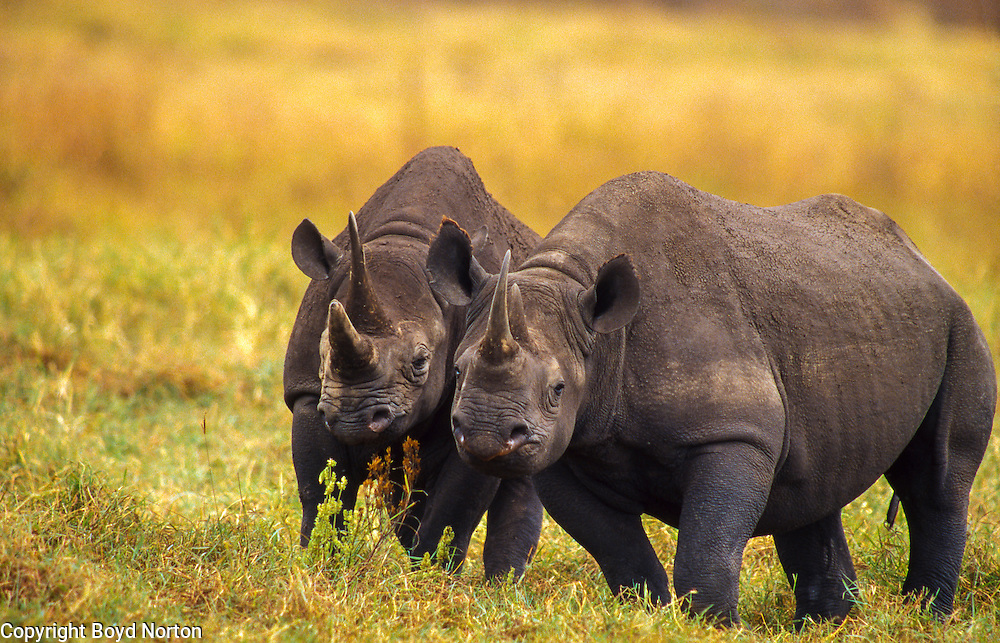 Black rhino, mother (l) and daughter, Ngorongoro Crater, Tanzania