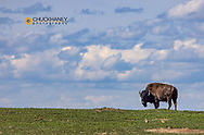 Bison bull in prairie dog town against the big sky in Theodore Roosevelt National Park, North Dakota, USA