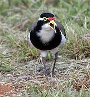 This is a Banded Lapwing. It is one of two Lapwing species in Australia. It has Vanellus tricolor as its scientific name.<br /> ----------<br /> Dette er en beltevipe. Den er en av to vipearter i Australia. Arten heter Banded Lapwing på engelsk, og har Vanellus tricolor som sitt vitenskapelige navn.