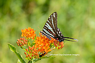 03006-00517 Zebra Swallowtail (Protographium marcellus) on Butterfly Milkweed (Asclepias tuberosa) Marion Co. IL