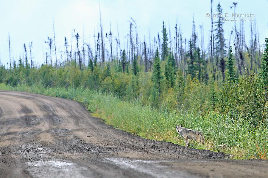 Wild wolf on the Dempster Highway, Yukon, Canada