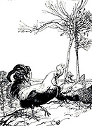 The Cock and the Jewel from the book ' Aesop's fables ' Published in 1912 in London by Heinemann and in  New York by Page Doubleday Illustrated by Arthur Rackham,