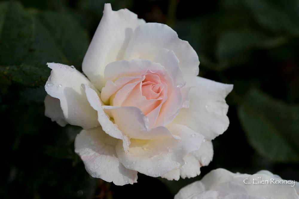 Rosa 'Harzart' a light pink hybrid tea rose growing in the Shrub Rose Garden at The RHS Garden Rosemoor in Great Torrington, Devon, UK