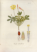 Woodsorrel (Oxalis rubroflava). Illustration from 'Oxalis Monographia iconibus illustrata' by Nikolaus Joseph Jacquin (1797-1798). published 1794